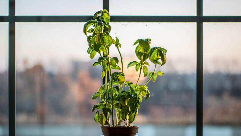 Growing Basil Indoors