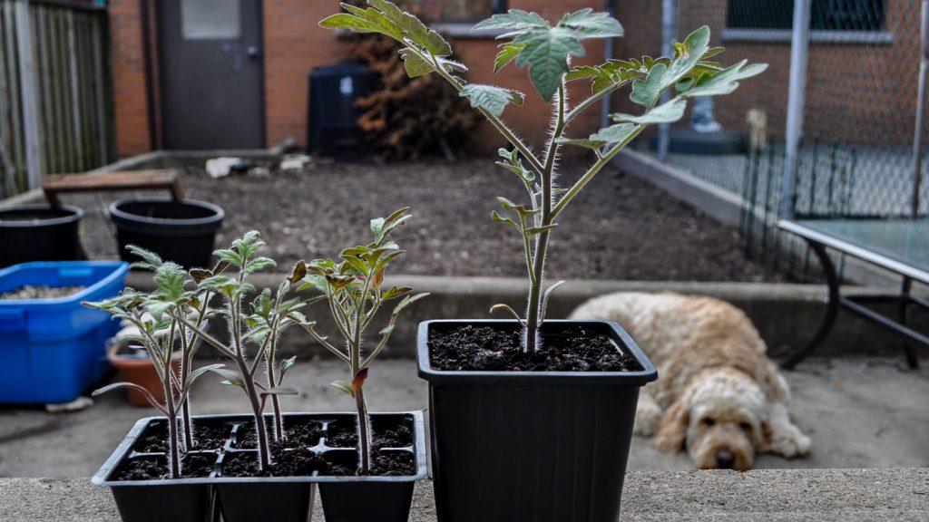 Potting Up Tomatoes