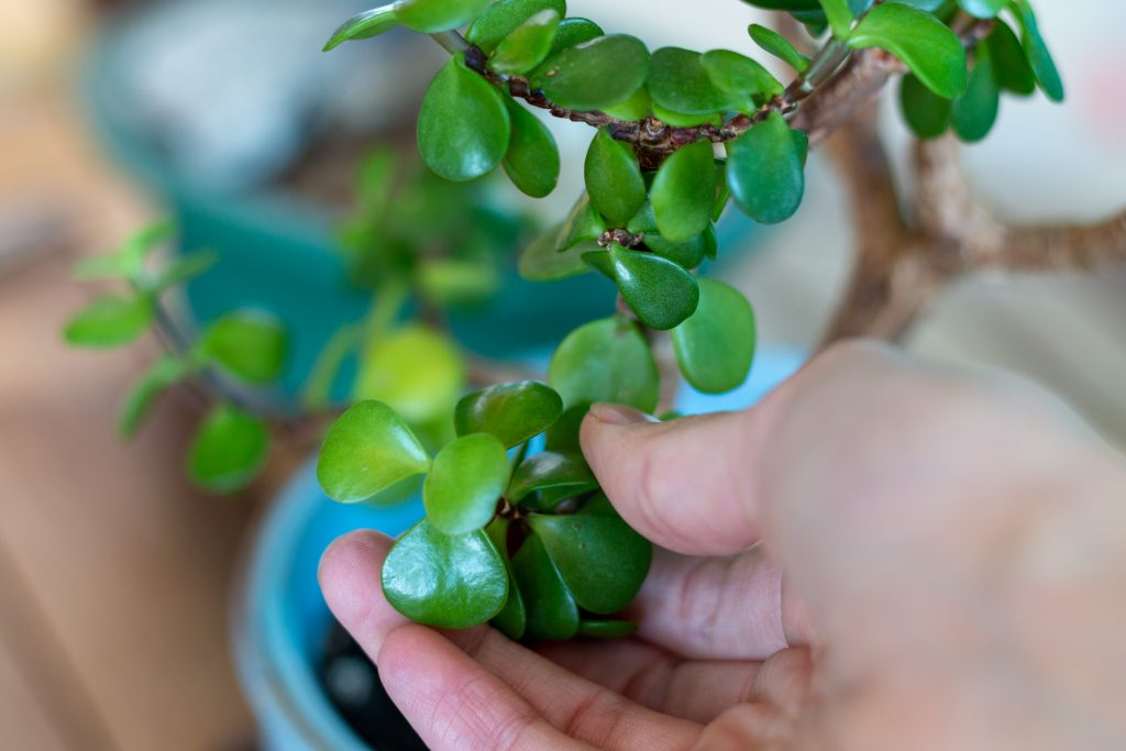 How To Grow Jade Bonsai From Cutting To Tree Gardenstead