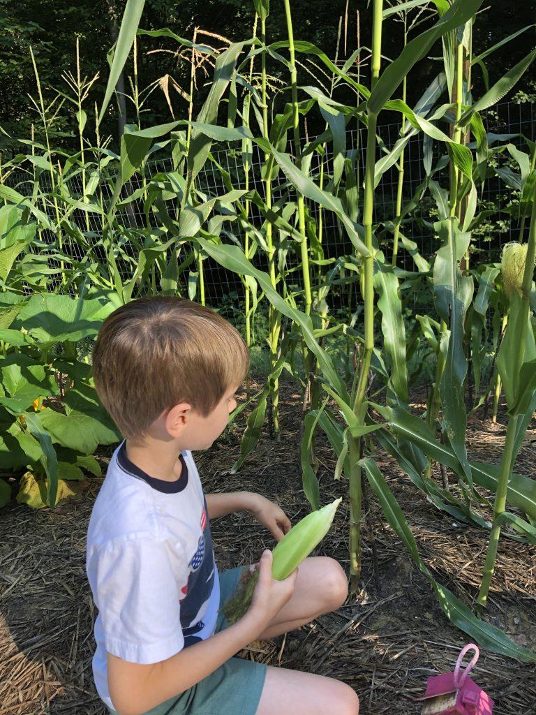 corn stalk field