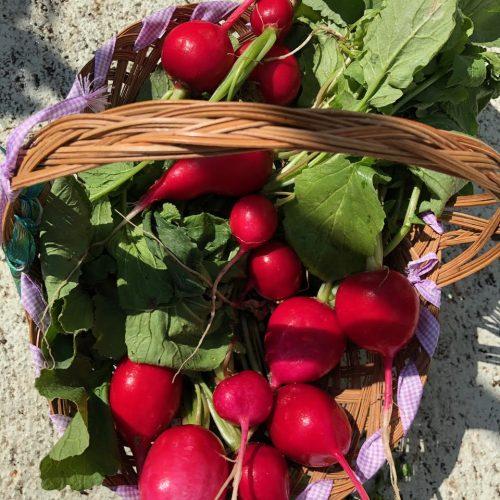 Andreina's radishes