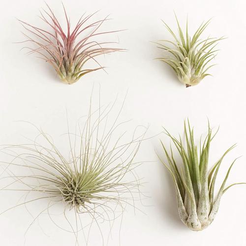 Assorted Air Plants Tillandsia Four Plants Succulent Shop