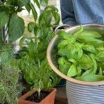 Holding Basil Harvest Bowl