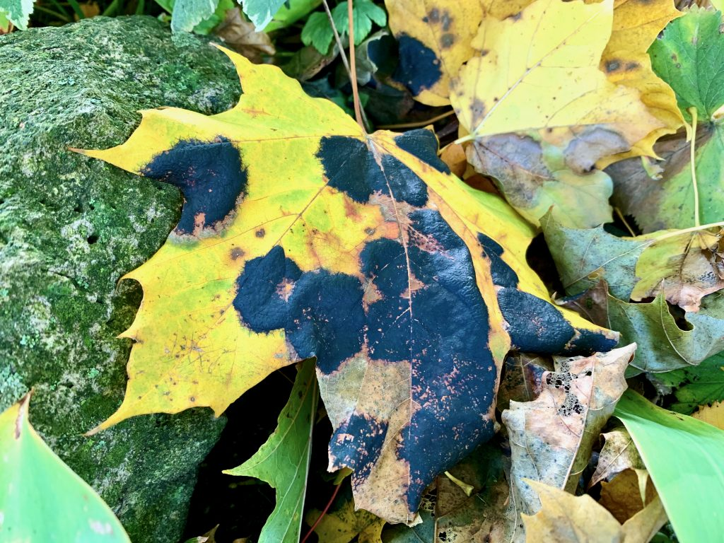 Maple Leaf Tar Spot