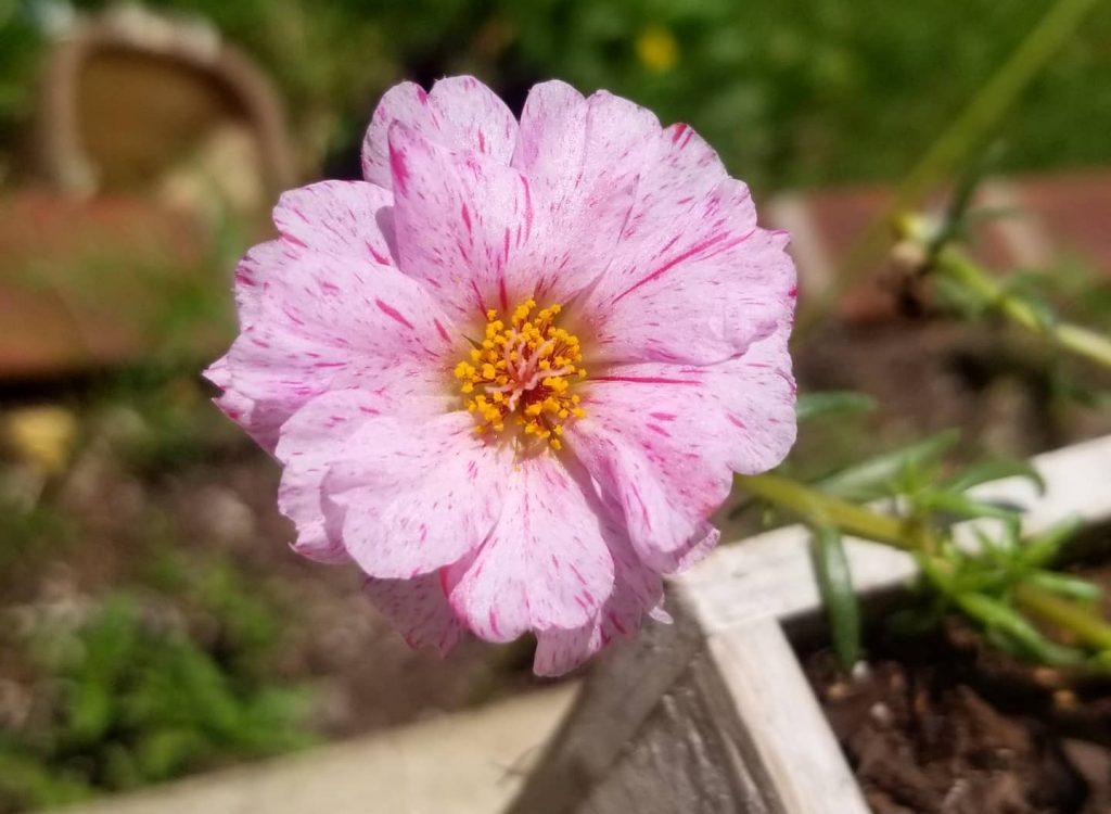 Portulaca Moss Rose