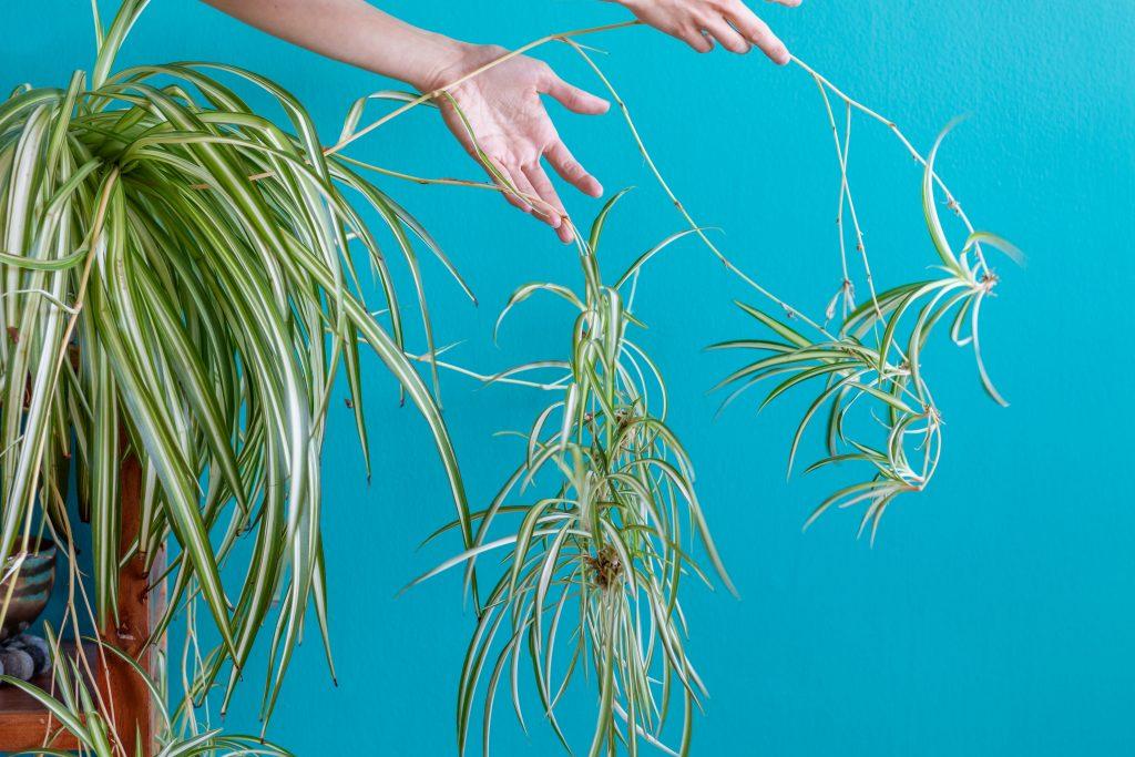 Simple Spider Plant Propagation Gardenstead