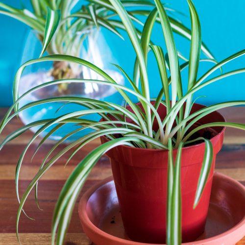 Spider Plant Prop Soil; chlorophytum comosum, spider ivy, airplane plant, St. Bernard's lily