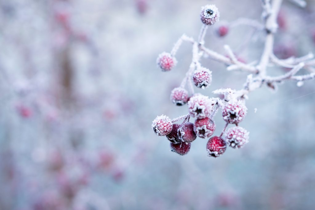frozen berries - photo by Galina via unsplash