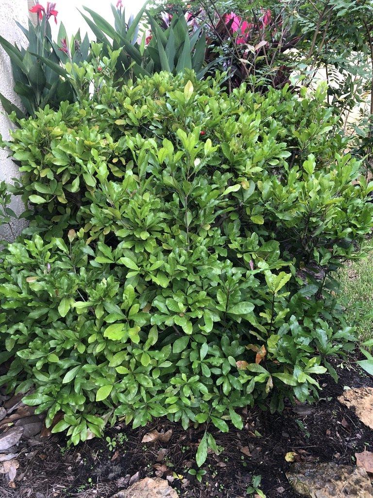 miracle fruit shrub