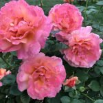 photo 1 - pink roses