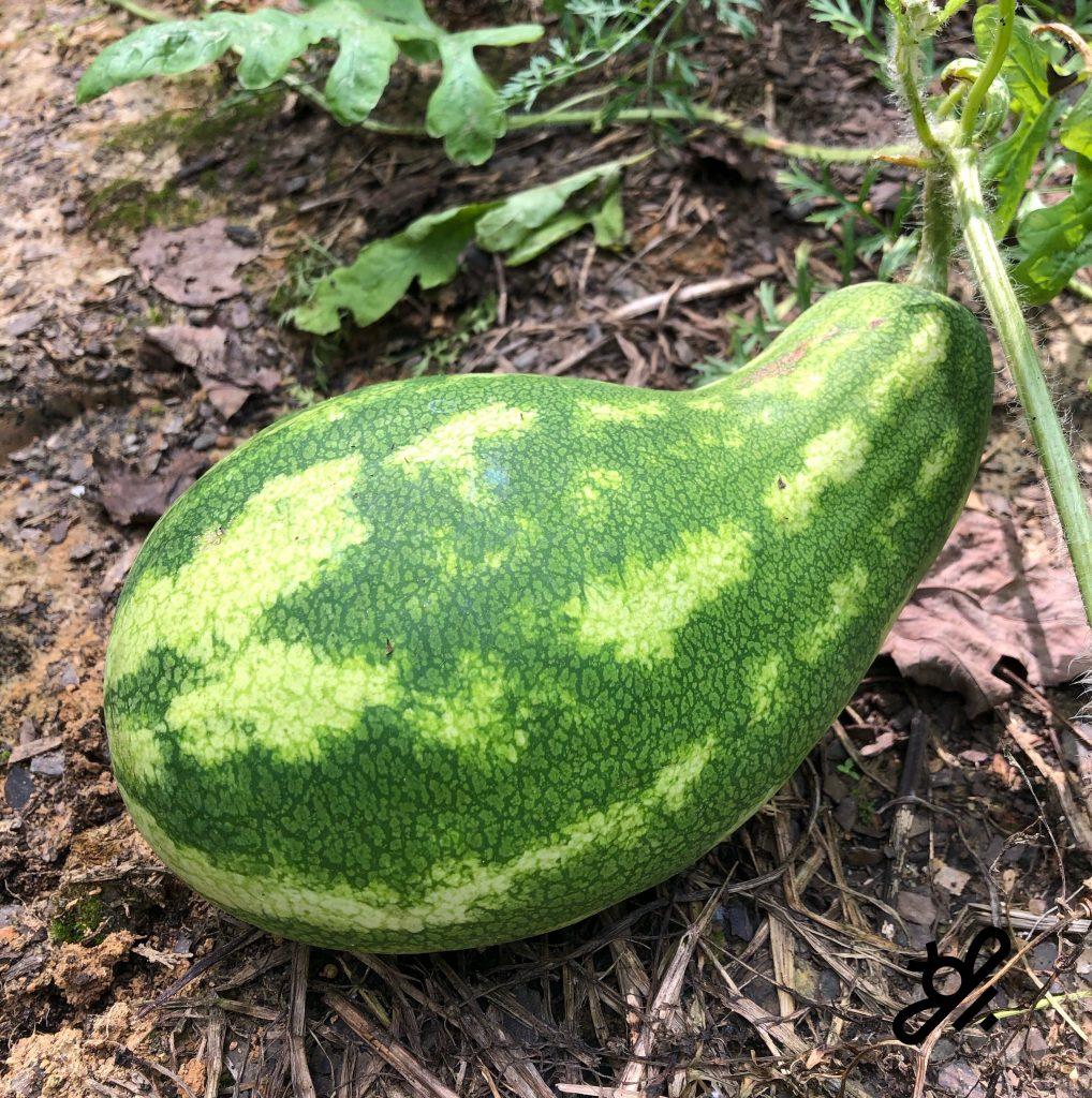 watermelon odd shape