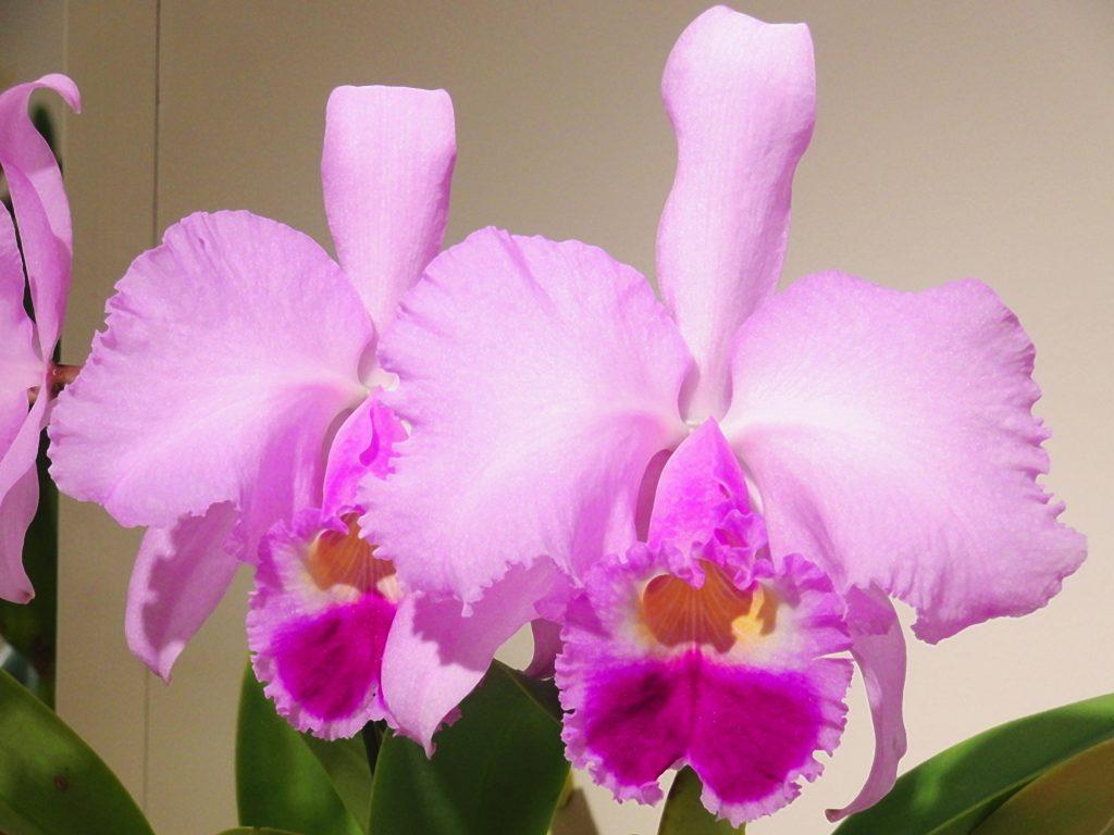 Christmas Orchid - Cattleya trianae