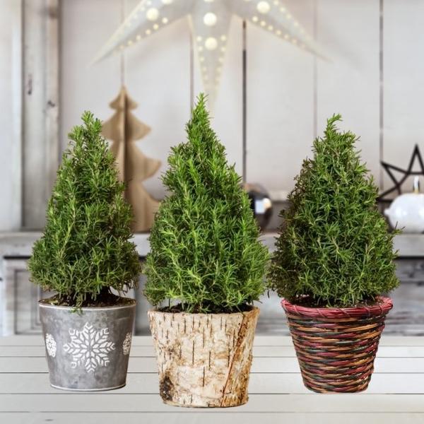 Rosemary Christmas Tree - easytogrowbulbscom