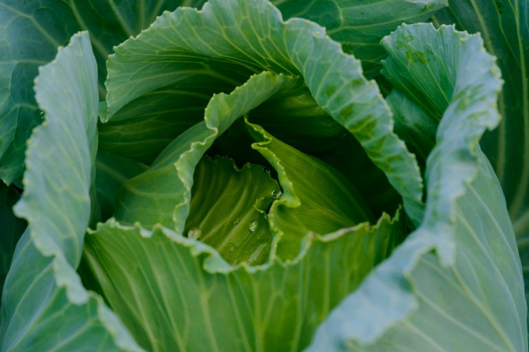 lettuce head photo by Craig Dimmick via unsplash