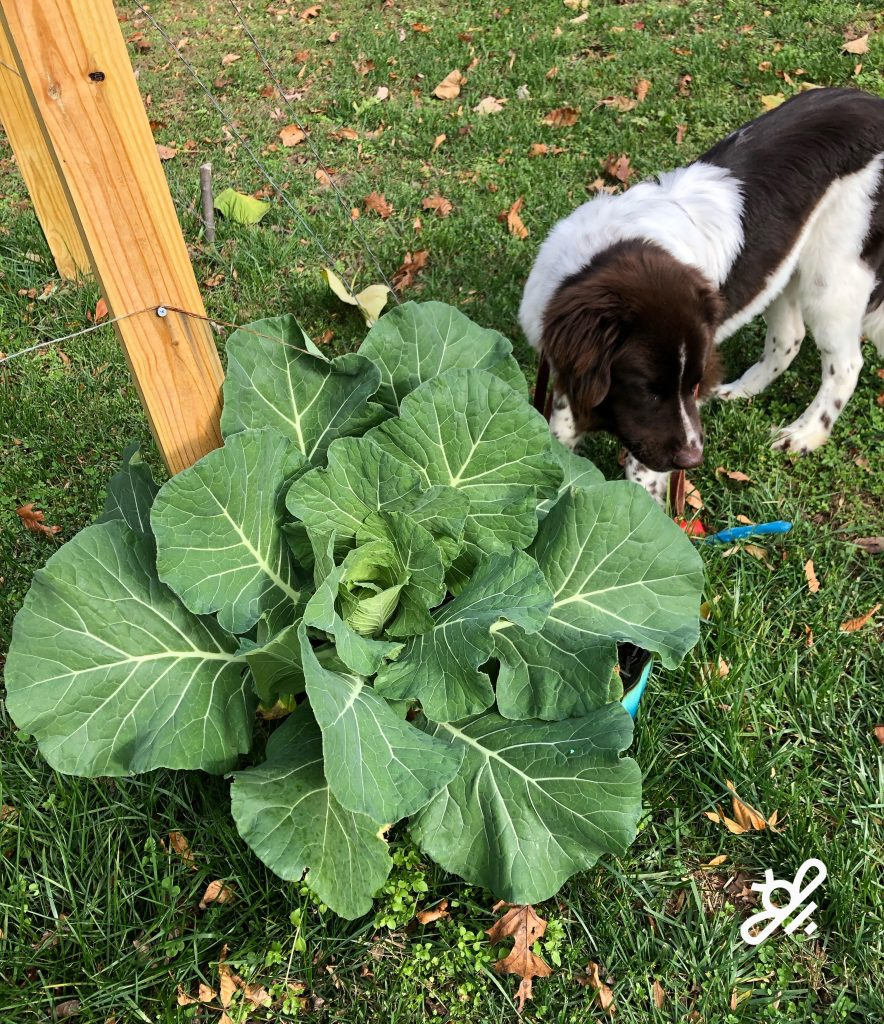 our dog with cabbage