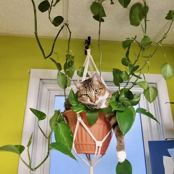 Keni Kenyon Cat in Hanging Plant