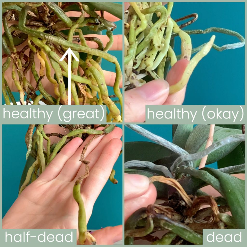 Orchid Root Health