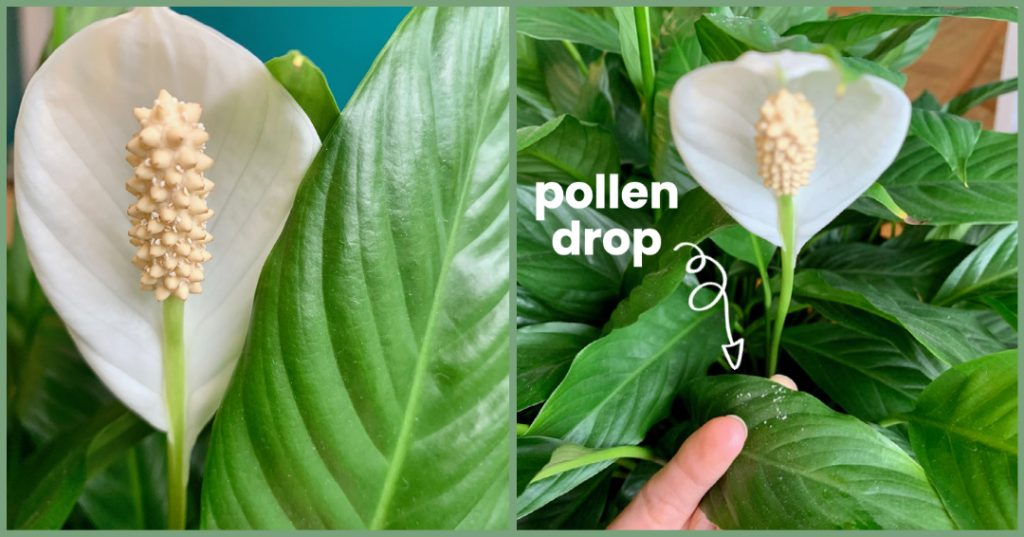 Peace Lily Pollen Drop