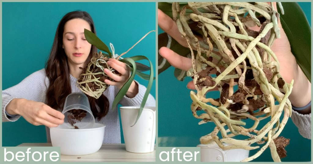 Remove Orchid Potting