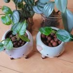 plants in leca
