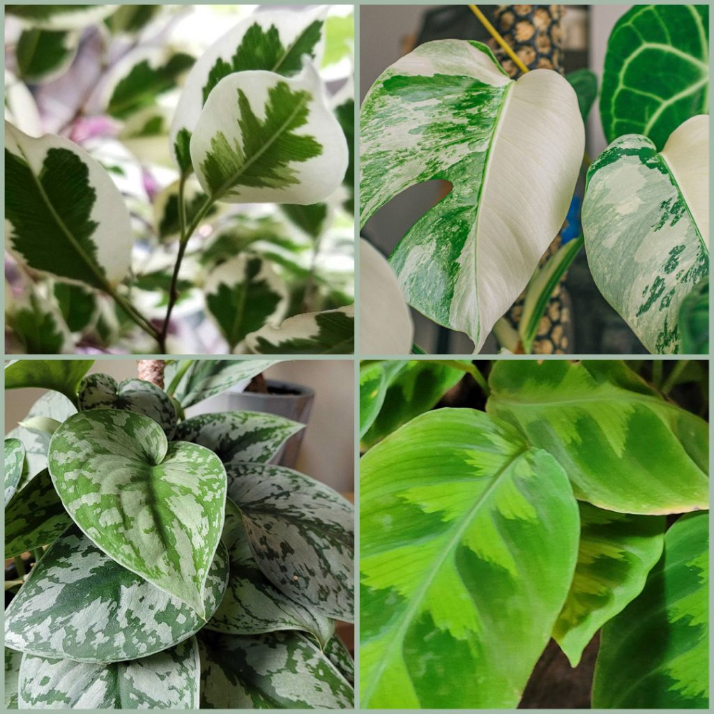 variegation in plants