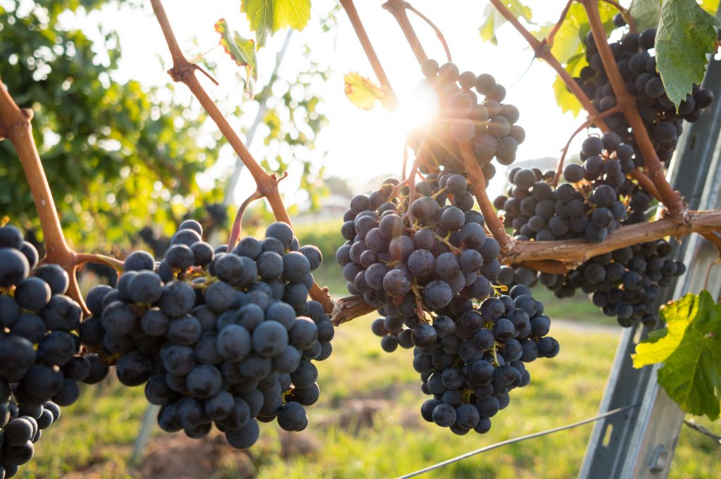grapes on vine photo by David Kohler via unsplash
