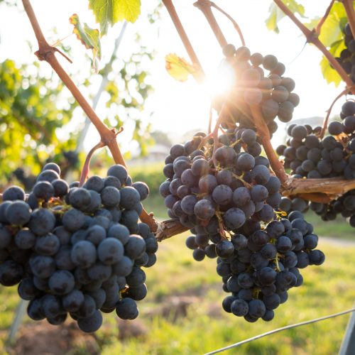 grapes on vine photo by David Kohler via unsplash
