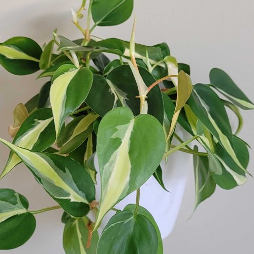 vining philodendron