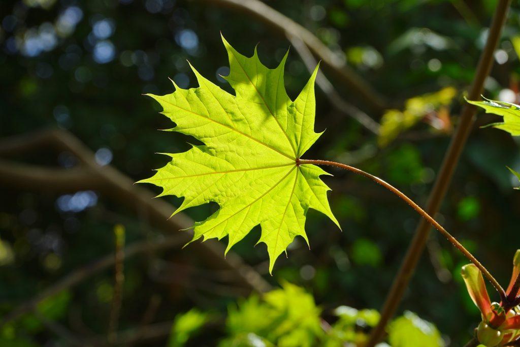 norway maple leaf