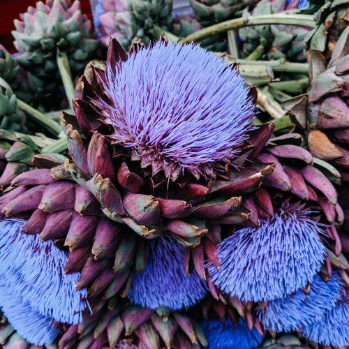 purple blossom of artichoke