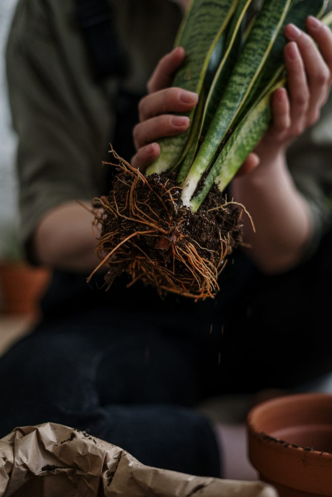 repotting plant in hand