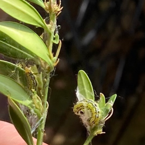 box tree moth on plant