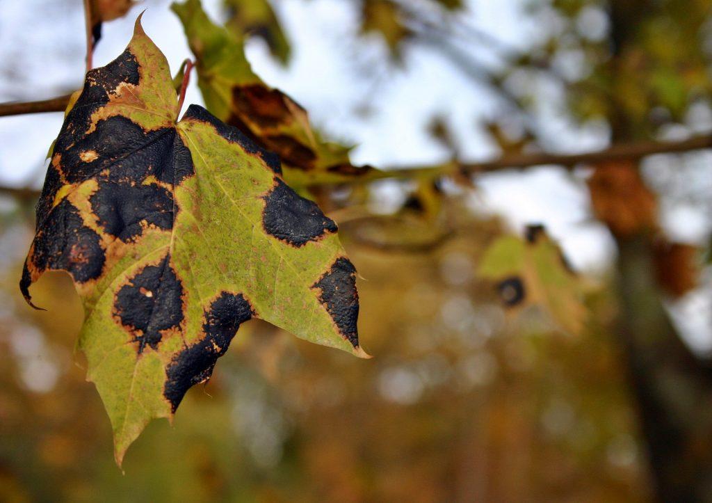 leaf tar stain disease