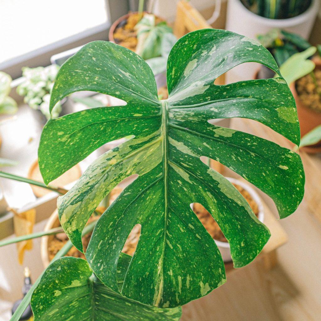 monstera plant variegated
