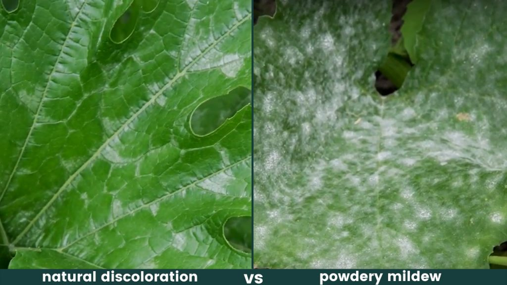 powdery mildew or natural discoloration