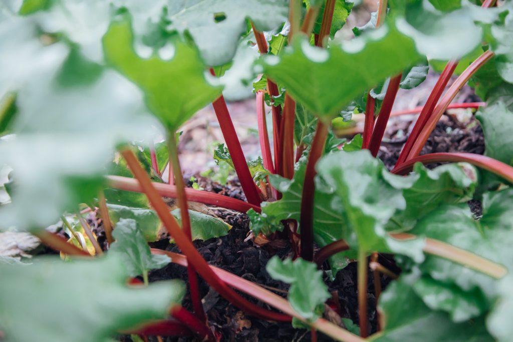 rhubarb in garden