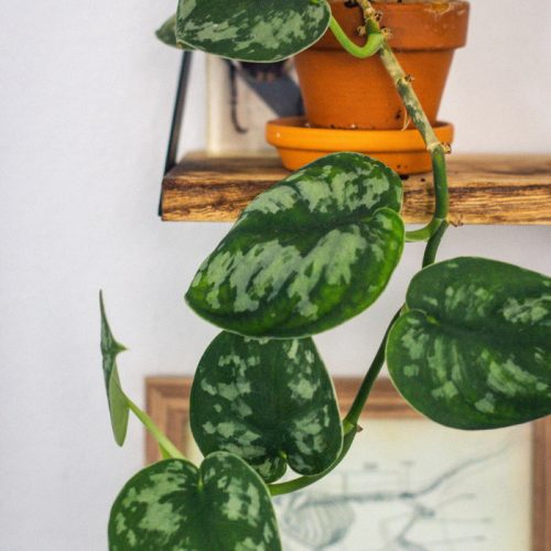 Pothos Devils Ivy Plant