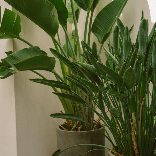 birds of paradise (strelitzia reginae)