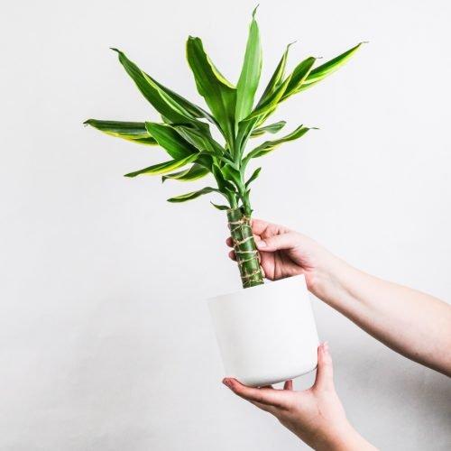 corn plant (dracaena fragrans)