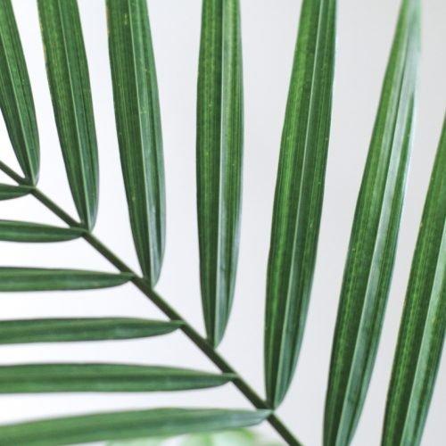 majesty palm (ravenea revularis)