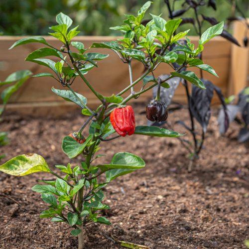 pepper growing in raised garden bed