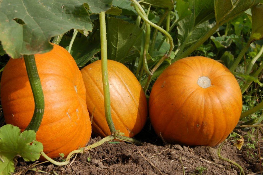 pumpkins on patch