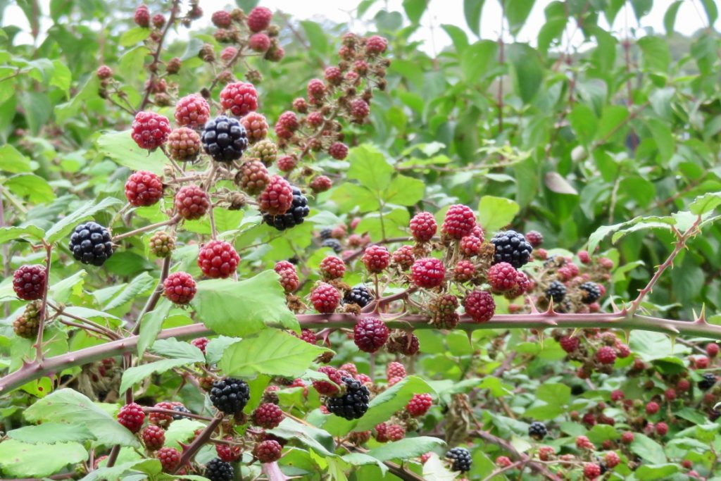 raspberries and blackberries bush