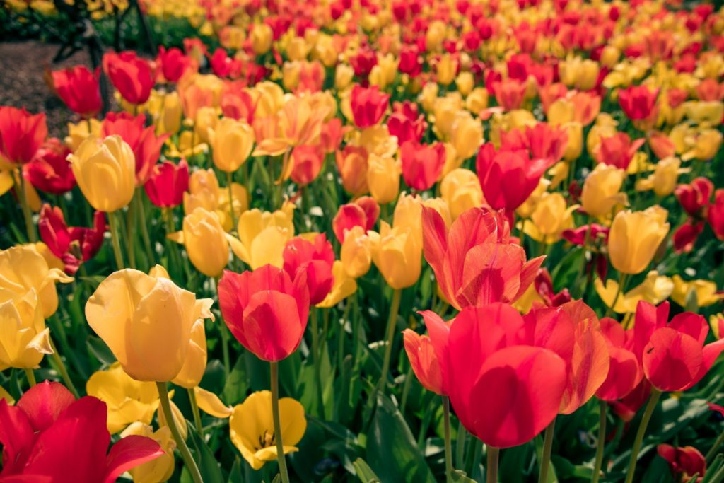 red and yellow flowers field
