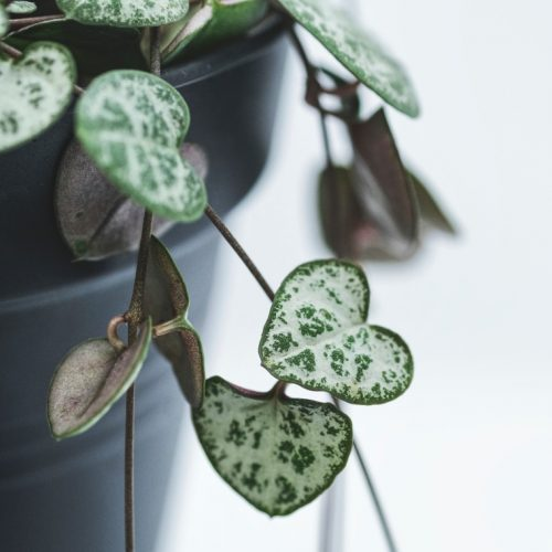 string of hearts houseplant