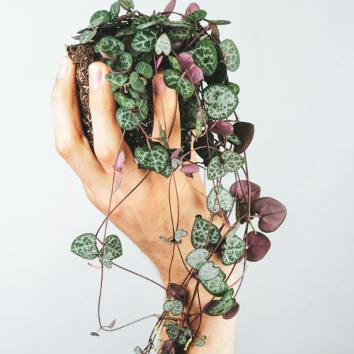 string of hearts plant in hand
