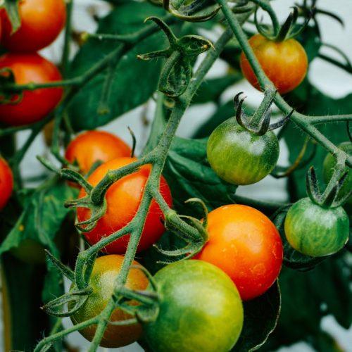 tomatoes growing on vine