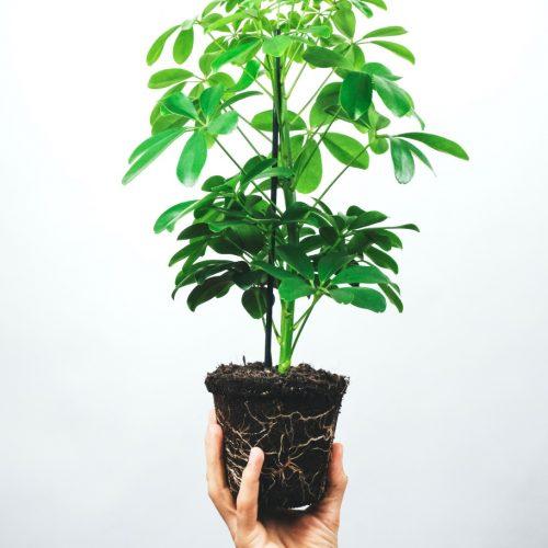 umbrella tree (schefflera arboricola)