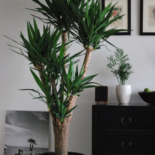 yucca plant (yucca elephantipes)