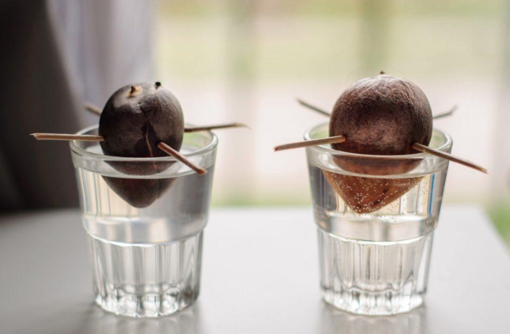 avocado plant seeds